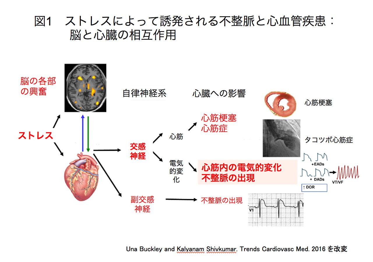 ストレスによって誘発される不整脈と心血管疾患:脳と心臓の相互作用